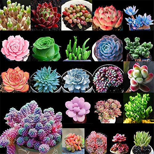 XIYAO 100 Sukkulenten Samen, MixBonsai Pflanzen SamenSaftigGartenDesktopDekoration