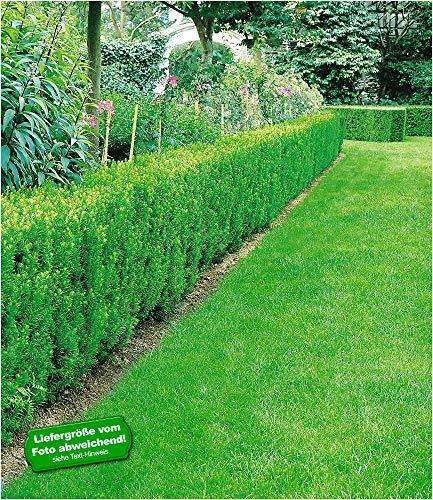 BALDUR Garten Eiben-Hecke, 1 Pflanze Taxus baccata winterhart Heckenpflanze immergrün