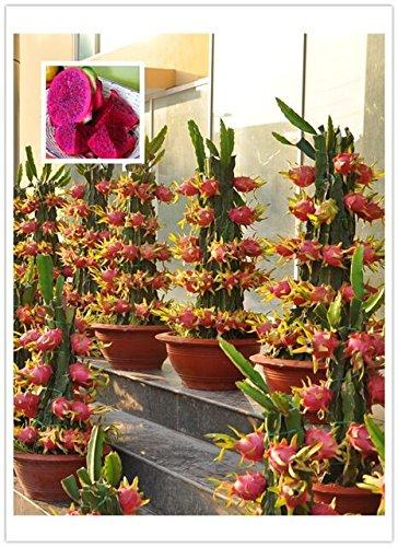 Paquete original, 15 semillas / paquete, Pitaya rojo dentro de