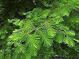 Bonsai semillas 50pcs secoya de amanecer Bonsái Grove - Metasequoia glyptostroboides, jardinería bricolaje en casa! Muy fácil de cultivar!