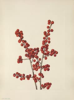 N American Wild Flowers 1925 Winterberry Poster Print by Mary V Walcott (24 x 36)