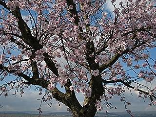 True Almond -Almondtree- 6 Big seeds * Prunus dulcis *
