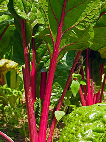 Roter Mangold 'Vulkan' (Beta vulgaris var. cicla) 80 Samen Krautstiel Beißkohl Römischer Kohl