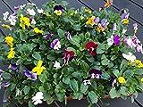 Horn-Veilchen, Viola cornuta, 12 bunte Hornveilchen, Frische Stiefmütterchen Pflanzen
