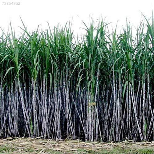 Portal Cool 9484 9436 1000Pcs / Packung Zuckerrohr Samen Saft Zucker Maker kultivierter Garten Pflanzen