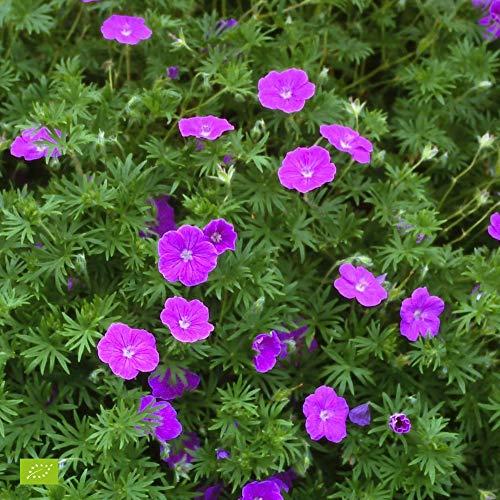 Geranium sanguineum | Storchschnabel | Lila Blüte | Höhe 25-35cm | Topf-Ø 13cm