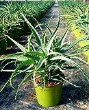 Aloe Arborescens 60-70 cm - Baum Aloe - Heilpflanze