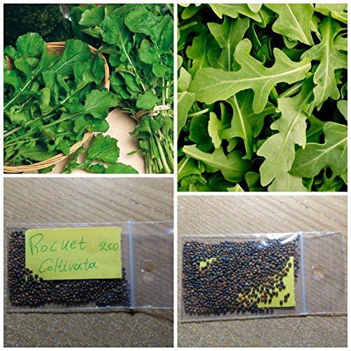 Rocket-Rucola '' Coltivata '' ~ 250 Top Quality Seeds - Erstaunlich gesundes Gemüse!