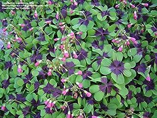 100 / Día bolsa de trébol de cuatro hojas Crezca su propia suerte para las semillas de césped para Jardin ver New semillas...