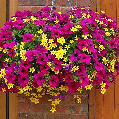 50 Semillas - Bur caléndula (Bidens aurea) cestas contenedores o que caen sobre Wall