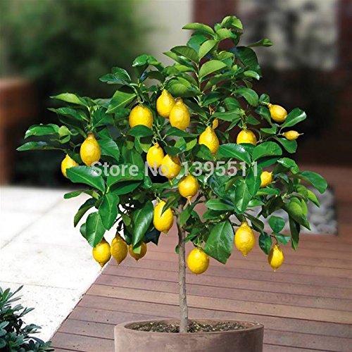 Graines Bonsai Fruit Lemon Tree Graines taux de survie élevé des arbres fruitiers Semences pour la maison Gatden Backyard (25pièces) S47