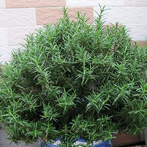 lamta1k 100Pcs Rosmarinus officinalis Samen Rosmarin Blumen-Garten-Pflanze Bonsai-Dekor - Rosmarinus officinalis Seeds