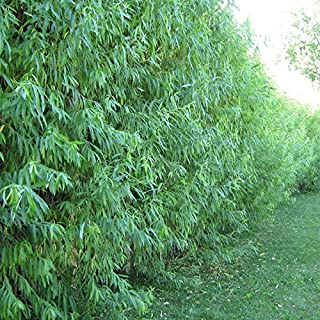 32 Hybrid Willow Tree Cuttings - Fast Growing Privacy or Shade Trees - Easy to Grow