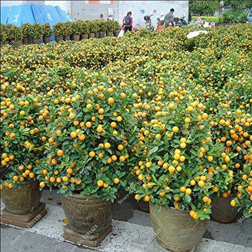Zwerg essbare Früchte Bonsai Samen, Mandarin Zitrus Orange Samen, Balkon Terrasse Topfobstbäume Kumquat Samen 10pcs / bag