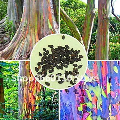SANHOC Bonsai-Baum seltenen Regenbogen Eucalyptus Deglupta Bonsai, Auffälliges Tropische Baumpflanzen, Eukalyptus Anlage für Gartenpflanze: 30PCS