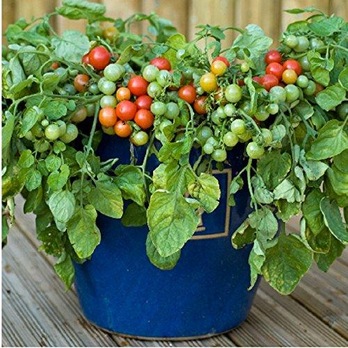 20 graines rouges perle graines de tomate nain graines Bonsai graines de légumes de bricolage windowsill jardin maison