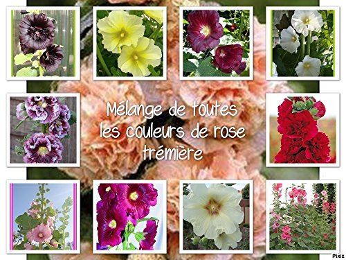 graines de Rose trémière , alcea rosea , mélange de couleurs