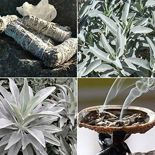 TENGGO Egrow 100 Teile/Paket Weißer Salbei Samen Weißer Salbei Bonsai Bio Kräuter Salvia Apiana Medizinische Seltene Mehrjährige Blätter Heirloom Natürliche Pflanze