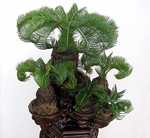 15 / sac de graines Cycas, mini cycas bonsaï graines en pot, la variété complète, le bourgeonnement taux de 95%