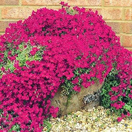 Acecoree Samen- 100 Stück Polsterthymian Bodendecker Blütenteppich kletterpflanze winterhart mehrjährig Polsterthymian, Duftend Blumensamen Sand-Thymian