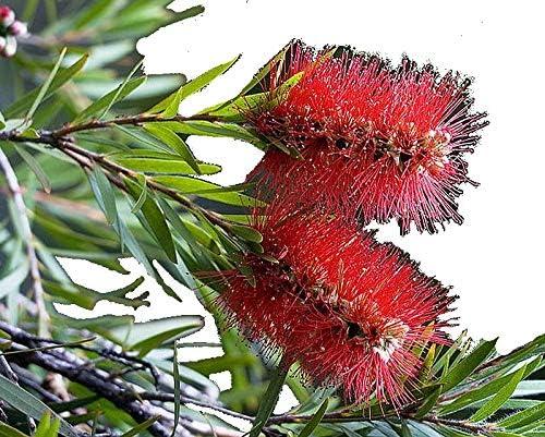 RED DWARF Powder Puff Flowering Shrub Plant Unique Unusual Red Flowers Attracts Hummingbirds Butterflies Starter Size 4 Inch Pot Emeralds Tm