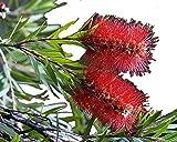 Little John Dwarf Bottlebrush Tree Live Plant Rare Miniature Flowering Shrub Bonsai Starter Size 4...