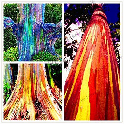 Großer Verkauf! 100pcs/bag Hawaii-Regenbogen-Eukalyptus-Baum-Samen, hohe Keimungrate schöner Zier-Baum, freies Verschiffen