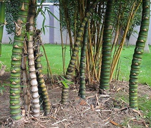 D'énormes 80 graines/paquet pubescens géant Phyllostachys Moso graines de bambou rustiques -Giant 5