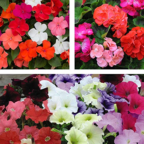 Summer Bedding Plant Collection, Half Hardy Annual 6 Plants by Thompson &...