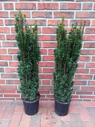 2 Stück Säulen Eibe, Höhe: 90-100 cm, Taxus Fastigiata, Säuleneibe + Dünger