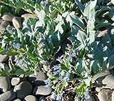 RWS 10 ostra semilla hoja, semillas Oysterleaf, Mertensia maritima, las hojas con sabor de ostras