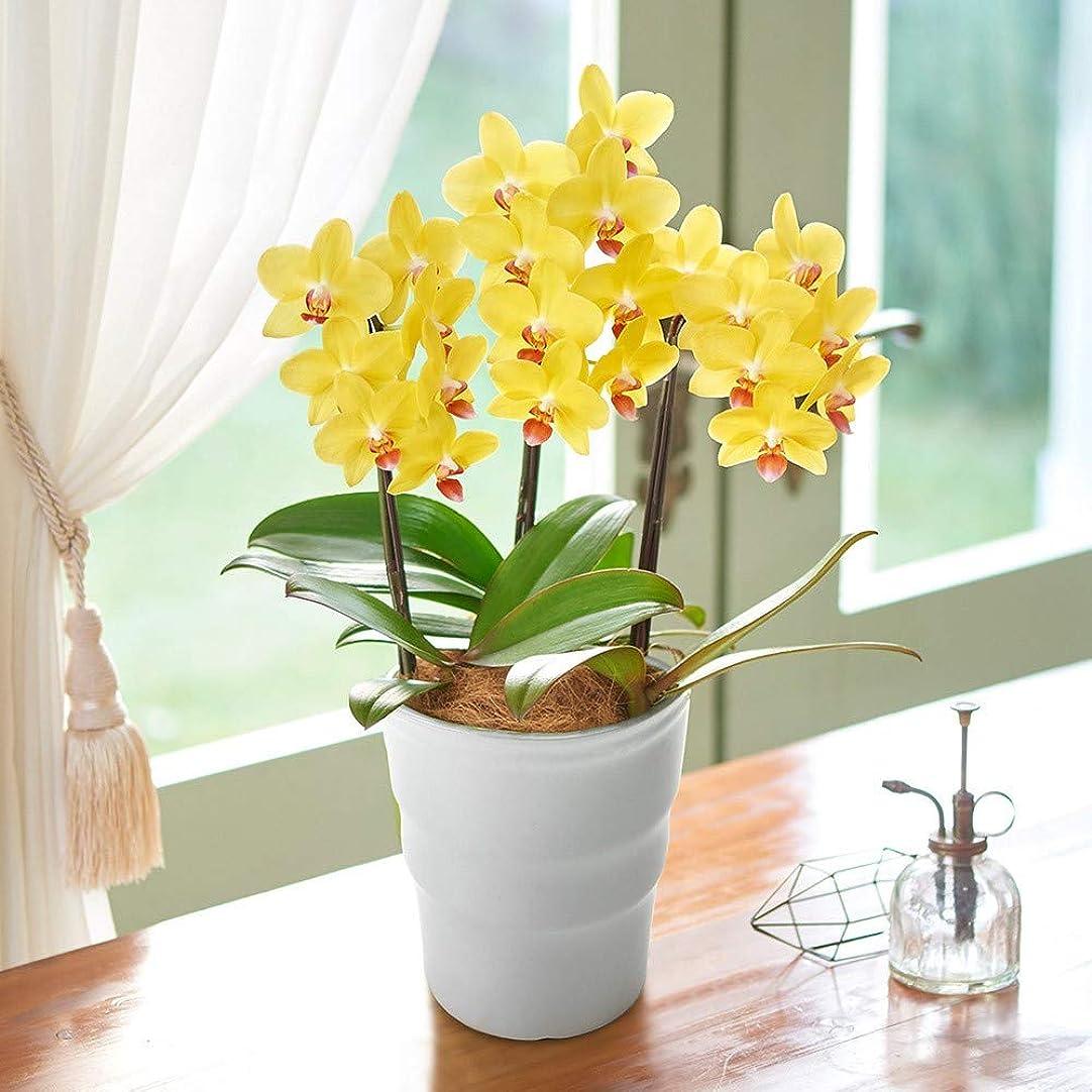 麺漏れ知り合いになる日比谷花壇 季節の 蘭鉢 ミディ胡蝶蘭「ナオミゴールド」