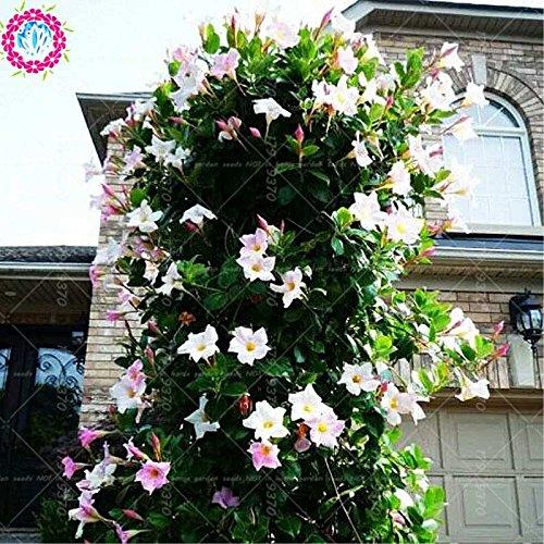100pcs/bag Climbing Mandevilla sanderi Samen, Dipladenia sanderi Samen, Bonsais-Blumen-Anlage für die Dekoration zu Hause & Hofmauer Topf 4