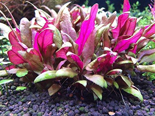 イイ水草市場 アルテルナンテラレインキー ミニ(3本)栄養素付◆赤色系 水草 丈夫◆