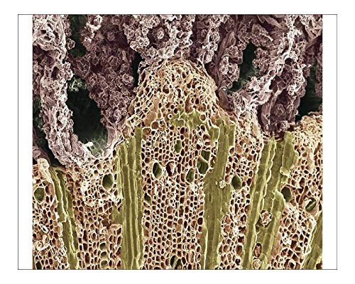 Media Storehouse 10x8 Print of Wood. Scanning Electron Microscope (SEM) (19307101)