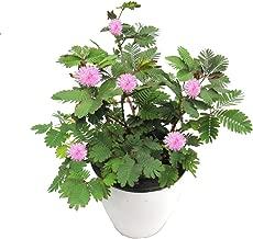 Best makahiya plant buy Reviews
