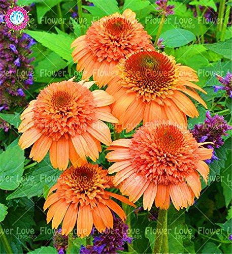 50PCS Rare orange Graines Echinacea vivace Graines de fleurs échinacée Showy Beaucoup-doublé capitules Plante en pot pour le jardin 12