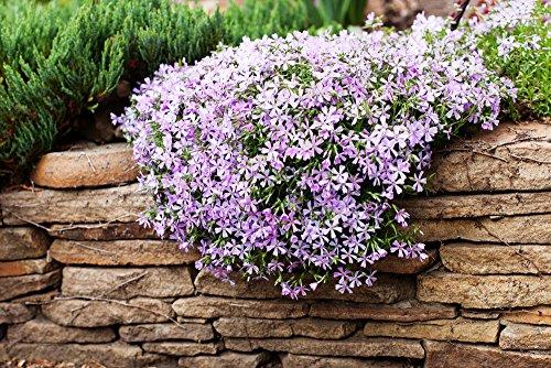 Berg Phlox 50 Samen, Linanthus grandiflorus