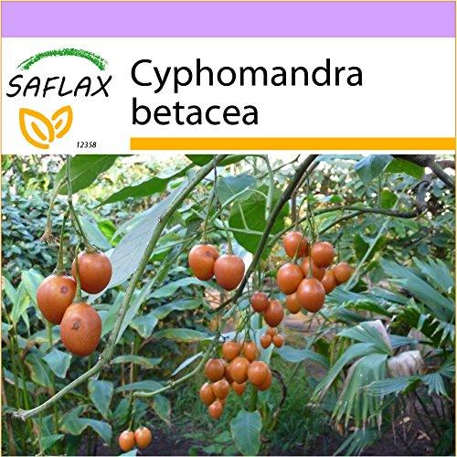SAFLAX - Tropischer Tomatenbaum/Tamarillo - 50 Samen - Cyphomandra betacea