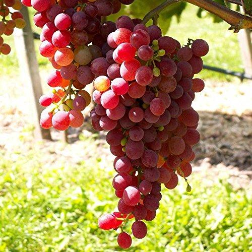 Tafeltraube 'Vanessa®' rot – kernlose Traubenrebe für den Garten - 1 Traubenpflanze von Pflanzen-Kölle im 3 Liter Topf - Vitis vinifera Vanessa