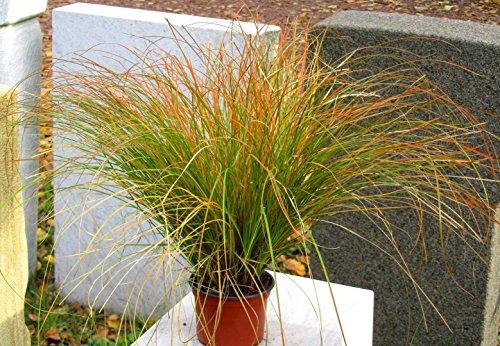 Carex testacea 'Prairie Fire'- Segge - Gras winterhart immergrün mehrjährig -17 cm Topf