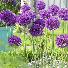 Van Zyverden 87121 Allium-Purple Sensation-Set of 12 Flower Bulbs, 12/14 cm