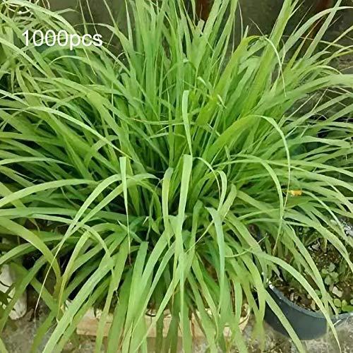TOYHEART 1000 Piezas De Semillas De Flores De Primera Calidad, Semillas De Limoncillo Que Crecen Todo El Año Fácil Cuidado Verde Hierba De Limón Cymbopogon Flexuosus Semillas Para Horticultura