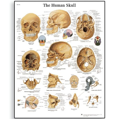 """3B Scientific VR1131L Glossy Laminated Paper Human Skull Anatomical Chart, Poster Size 20"""" Width x 26"""" Height"""