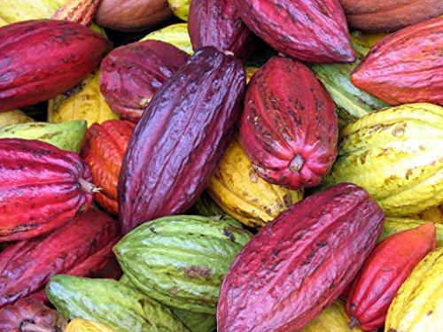 Graines de fruits de cacao - chocolat Arbre 5 Graines fraîches les plus fines Très rares