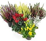 Herbst Blumenset Nr.1 Calluna vulgaris Trios Milka & Wildbeery, Alpenveilchen, Viola Stiefmütterchen & Silberblatt