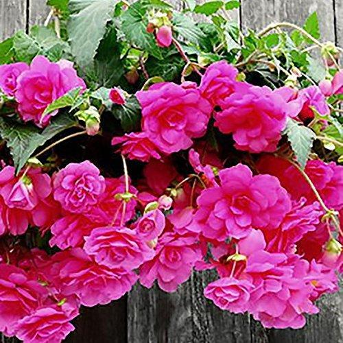 Pinkdose® Pinkdose Blumensamen: Hängende Begonie Hausgarten (8 Packete) Gartenpflanzensamen von