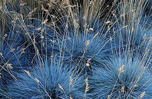 Blauschwingel Gras Staude Ziergras - Festuca glauca Elijah Blue - verschiedene Größen (2 Ltr.)