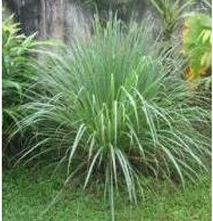 Herb Seeds - Lemongrass - 1000 Seeds