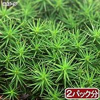 (観葉植物)苔 スギゴケ 2パック分